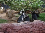 South American Penguins